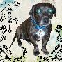angelo  precious pup